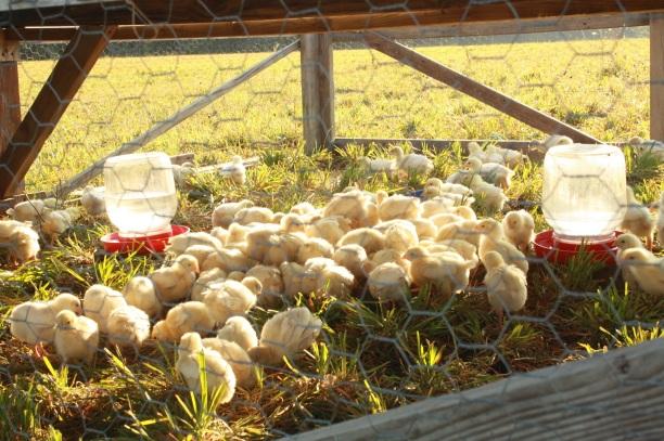 baby chicks resize 2