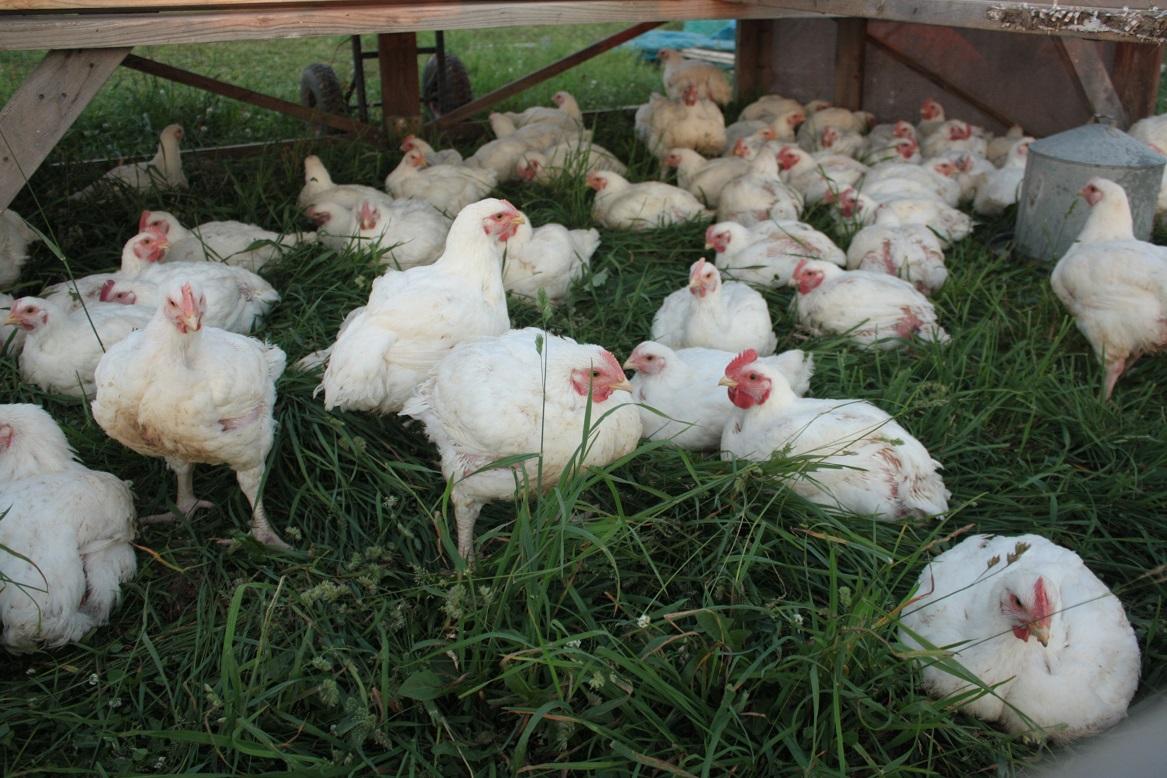 Pastured Broiler Chickens Sunbury PA