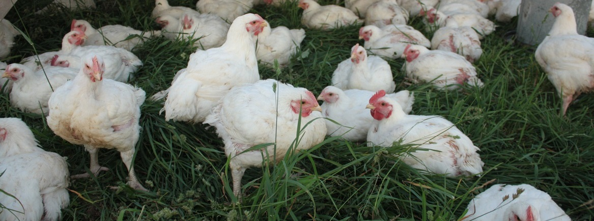 Pastured Broiler Chickens Sunbury PA