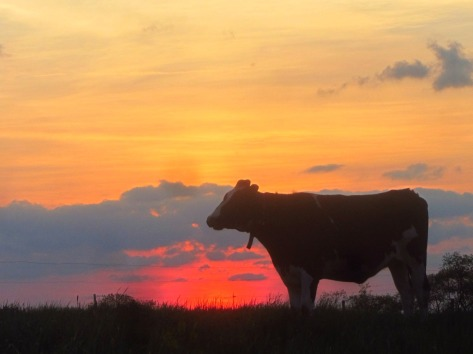 cowsunset