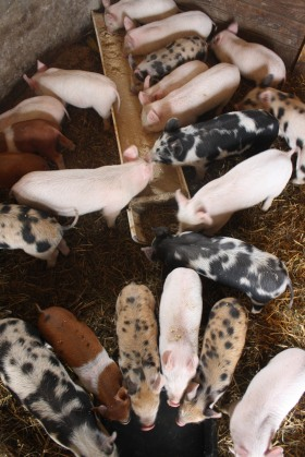 GMO-Free Naturally Raised Feeder Pigs Sunbury PA