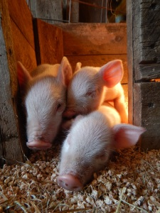 Non-GMO Feeder Pigs For Sale Sunbury PA