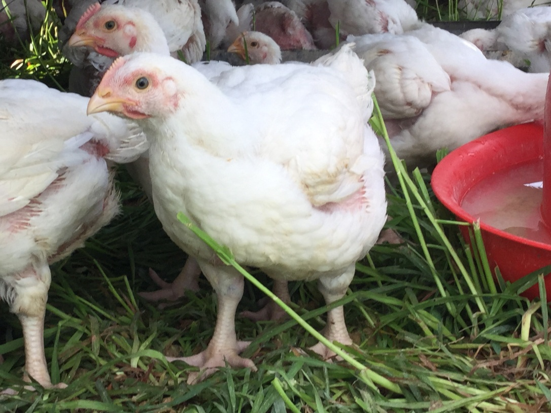 Pastured Chicken For Sale Sunbury PA
