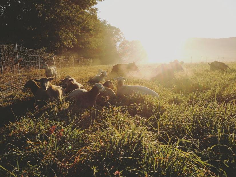 Grassfed lamb Sunbury pa northumberland central PA natural sheep