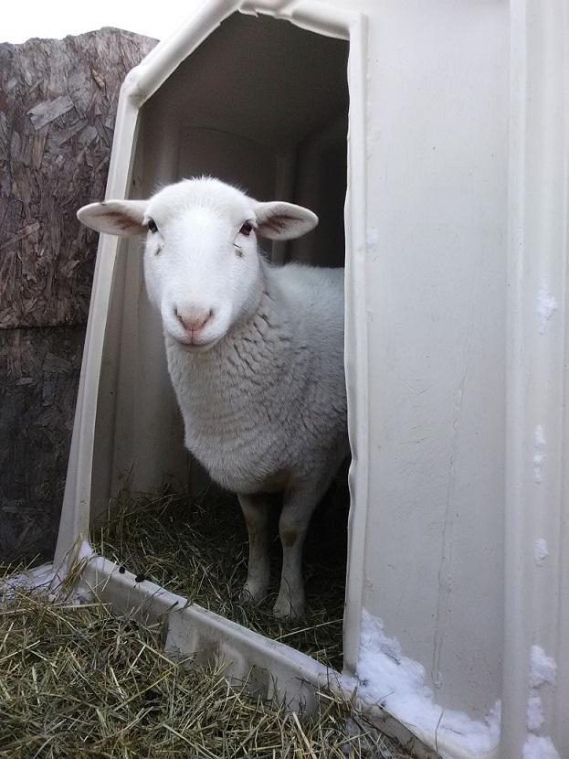 hair sheep winter housing central pa homestead