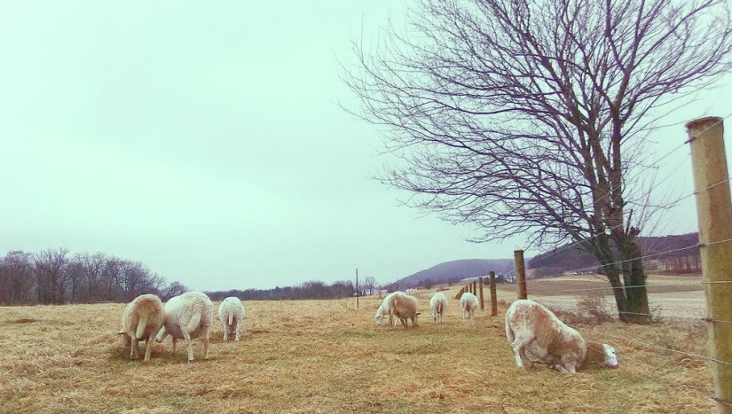 grass fed lamb central PA winter