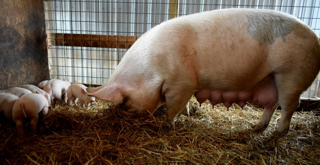 non-gmo pig hog central pa for sale
