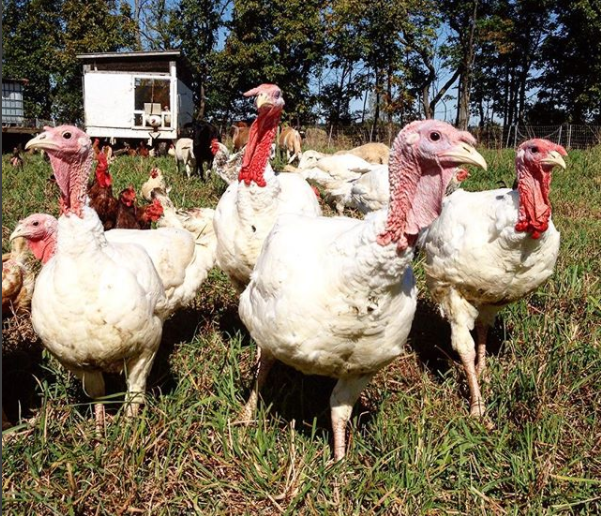 pastured turkey for sale central pa sunbury naturally raised