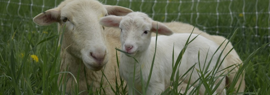 grass fed lamb naturally raised central PA sunbury for sale